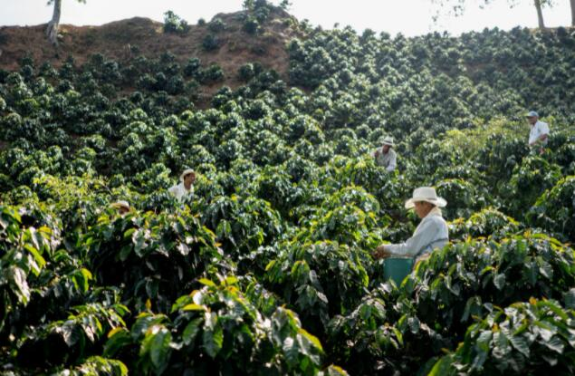 星巴克可以从咖啡短缺中脱颖而出